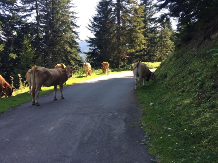 The cows obstructing the road. as I've eaten my fair share of French meat, it's only fair that I was held up.