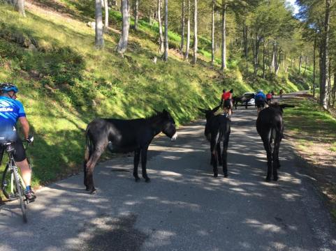 The donkeys of Hourquete d'Ancizan. Unregistered, holding up traffic and not wearing hi vis.